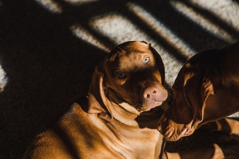 Jack and Annie Vizsla Vizslas Animal Themes Animal Dog Mammal Canine One Animal My Best Photo Pets Domestic Sunlight Domestic Animals No People Indoors  Day Close-up Focus On Foreground
