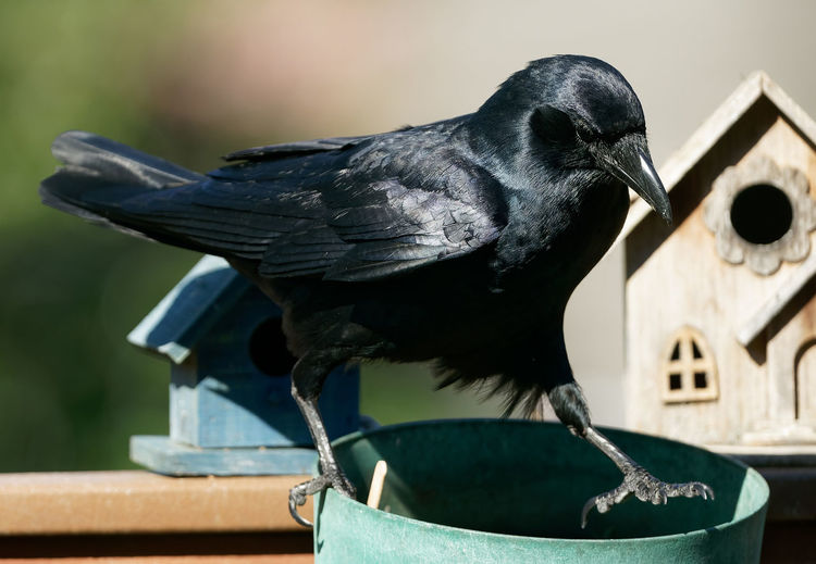 Glossy black bird walks along the deck railing