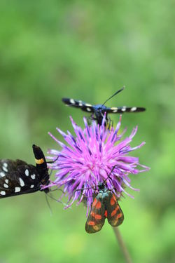 Animal Animal Themes Animal Wildlife Animal Wing Animals In The Wild Beauty In Nature Butterfly - Insect Close-up Flower Flower Head Flowering Plant Focus On Foreground Fragility Freshness Insect Invertebrate No People One Animal Outdoors Petal Plant Pollination Purple Vulnerability