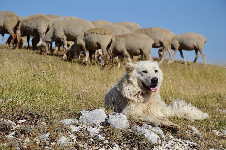 An Abruzzo sheepdog at work Sheepdog Mammal Animal Themes Animal Domestic Animals Domestic Pets Vertebrate Land Group Of Animals Dog Canine No People Day Sheep Nature Field Grass Sky Herd