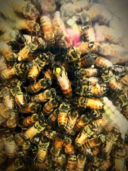 All hail the queen. 👸🏼🐝 Bee Bees Honey Bee Queen Queen Bee Hive Bee Hive Buzz Buzzing HoneyBee Honey Pollen Insect Bee 🐝