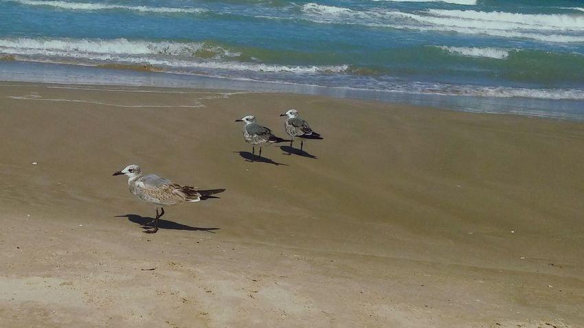 Gaviotas  Playa Miramar