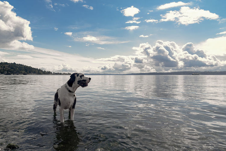 Harlequin Great Dane dog standing in the water gazing out to sea. Adoption Breed Gazing Happy Pacific Northwest  Pet Portraits Puget Sound Service Animals Stunning Therapy Tranquility Travel Dog Domestic Animals Explore Fleas And Ticks Great Dane Handsome Harlequin Healthy Large Longing Pets Rescue Searching Lost In The Landscape