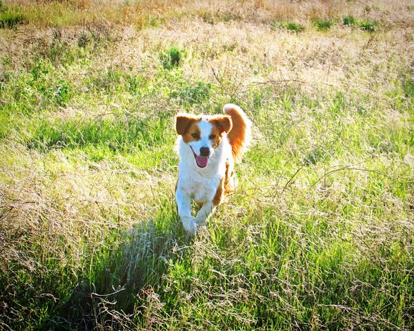 My camera broke and now I'm waiting for my new one to get here!😄😢 Adventure Buddies SShowcase: JanuaryLight No People English Shepherds Natural Beauty Country Life Dogs I Love My Dog Sound Of Life Kansas Feild