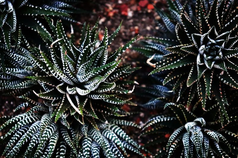 Succulent Canon 200D Sl2 1855mm Garden Succulent Plant Background Nature Fragility Close-up Backgrounds Beauty In Nature Day No People Freshness