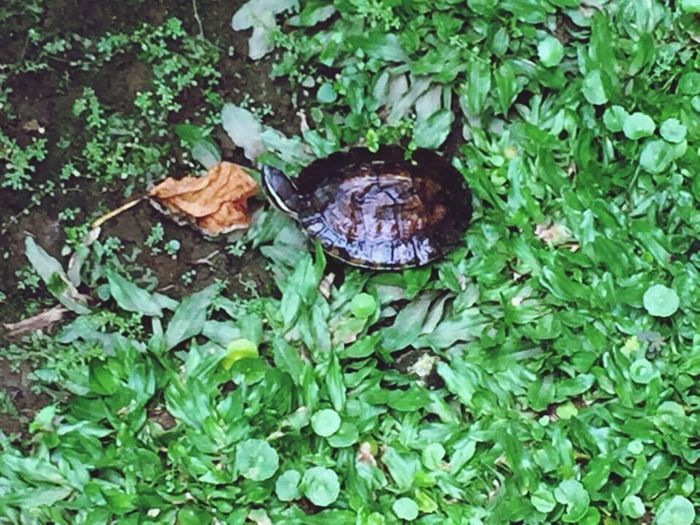 Turtle In My Garden One Animal Green Color