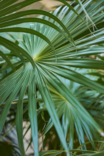 Plant Green Color Growth Leaf Plant Part Close-up Nature Palm Leaf Tree Beauty In Nature Palm Tree Day No People Tropical Climate Focus On Foreground Outdoors Selective Focus Tranquility Frond Natural Pattern Leaves Blade Of Grass