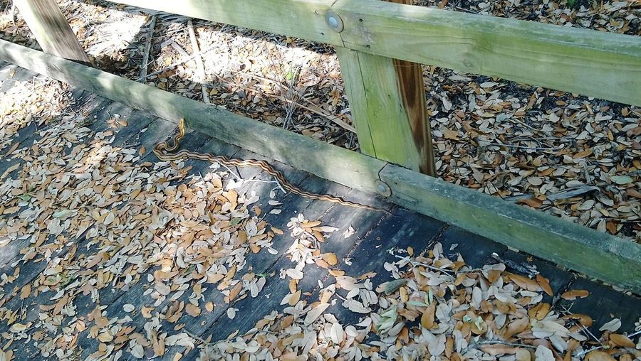 The corn-ratsnake 🐍 Snake Ratsnake High Angle View Close-up Full Frame Leaves Fallen Change