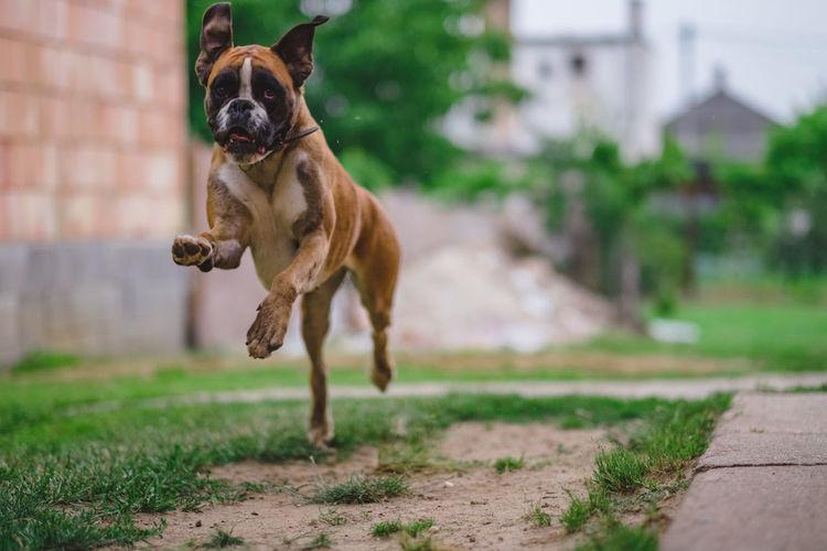 Boxer running on field in yard