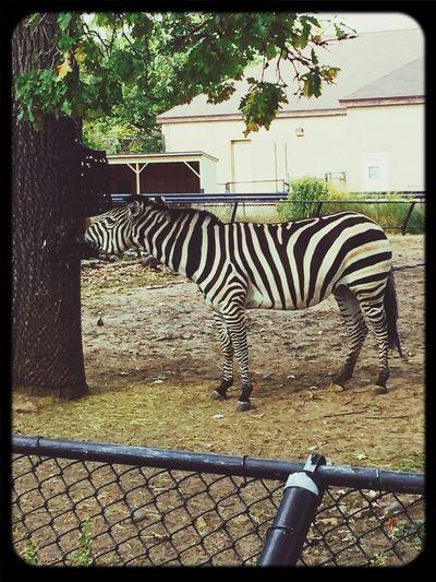 Zebra como park zoo Hanging Out