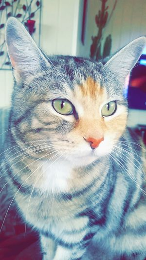 Animal Photography Cat Beautiful Cat Lovers Cute Cats I Love My Cat Green Eyes Betzy Colorful