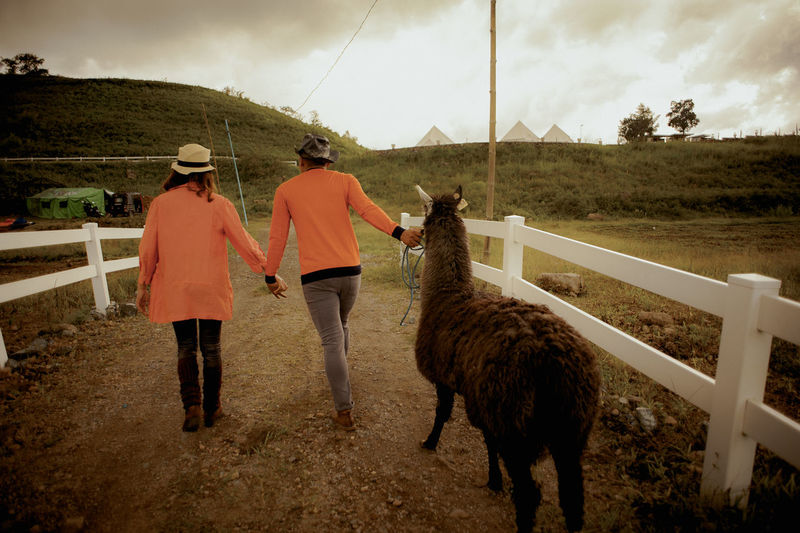 Rear view of couple with llama walking in farm