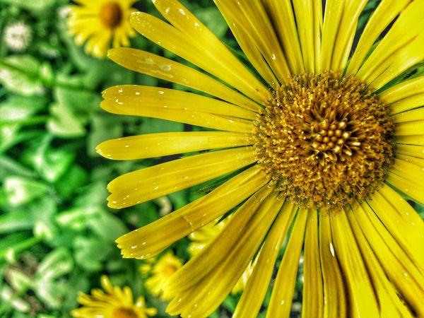 Yellow flowers Streamzoofamily Dandelion Europe EyeEm Nature Lover