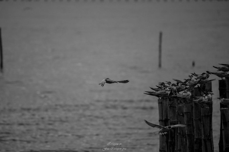 thailand Animal Animal Themes Animal Wildlife Animals In The Wild Architecture Bird Built Structure Day Flying Focus On Foreground Mid-air Nature No People One Animal Outdoors Seagull Spread Wings Vertebrate Water Wooden Post
