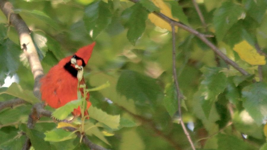 Animals In The Wild Beautiful Cardinal With Worms In Her Mouth Bird Leaf Nature One Animal Outdoors Tree