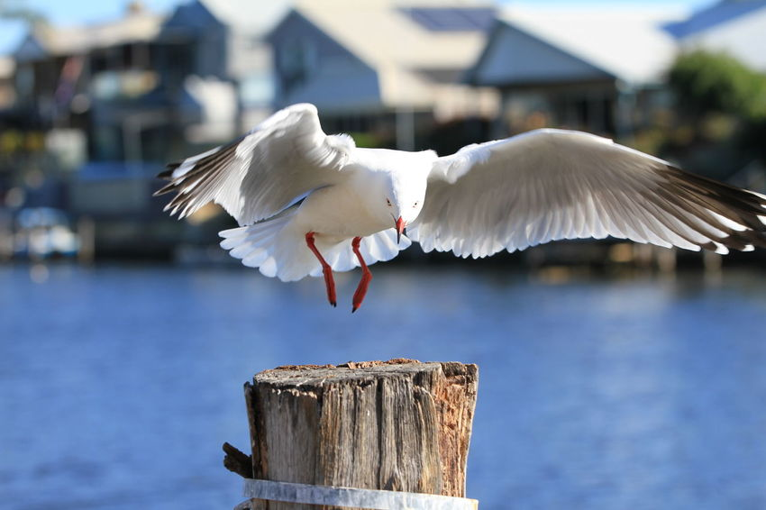 Perfect landing EyeEm Nature Lover Animal Animal Themes Animal Wildlife Animal Wing Animals In The Wild Architecture Bird Bird Landing Day Flying Focus On Foreground Mid-air Mouth Open Nature No People One Animal Post Seagull Spread Wings Vertebrate White Color Wings Spread Wide Wood - Material Wooden Post
