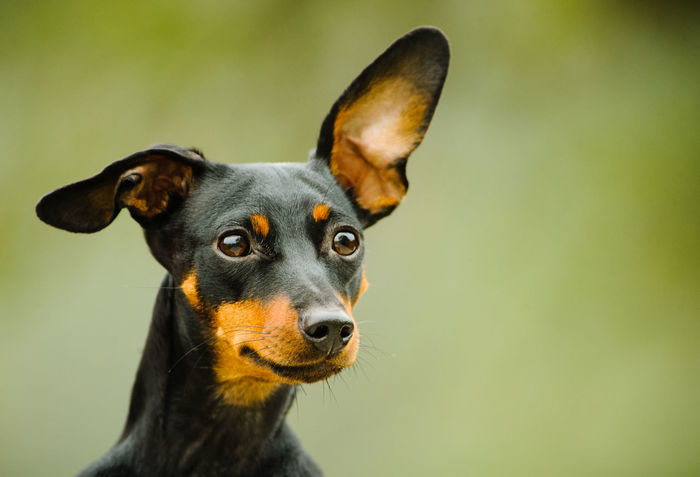 Miniature Pinscher dog Animal Themes Close-up Day Dog Domestic Animals Mammal Min Pin Miniature Miniature Pinscher No People One Animal Outdoors Pets Pinscher Portrait Purebred Dog Small Dog