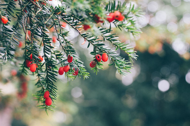 Yew Tree Beauty In Nature Branch Close-up Coniferous Tree Day Focus On Foreground Freshness Fruit Green Color Growth Leaf Nature Needle - Plant Part No People Outdoors Plant Plant Part Red Red Color Selective Focus Tree Yew Berries