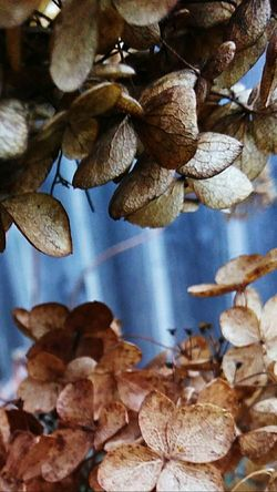 Close-up Flower Plants Dead Plant Dead Flowers Hydrangea