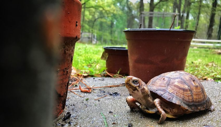 After a heavy rain fall, I took my pet turtle out for some excersise. Outdoors Animal Pet Low Angle View Reptile Animal Wildlife IPhoneography EyeEm Best Shots Nature Animals In The Wild No People