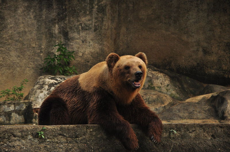 Grizzly bear resting on rock in zoo