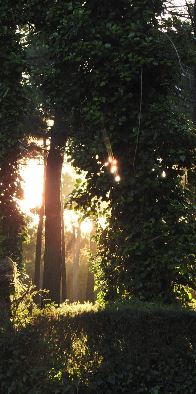 tree, growth, sunbeam, nature, sunlight, plant, tranquility, no people, outdoors, sun, forest, beauty in nature, day, grass