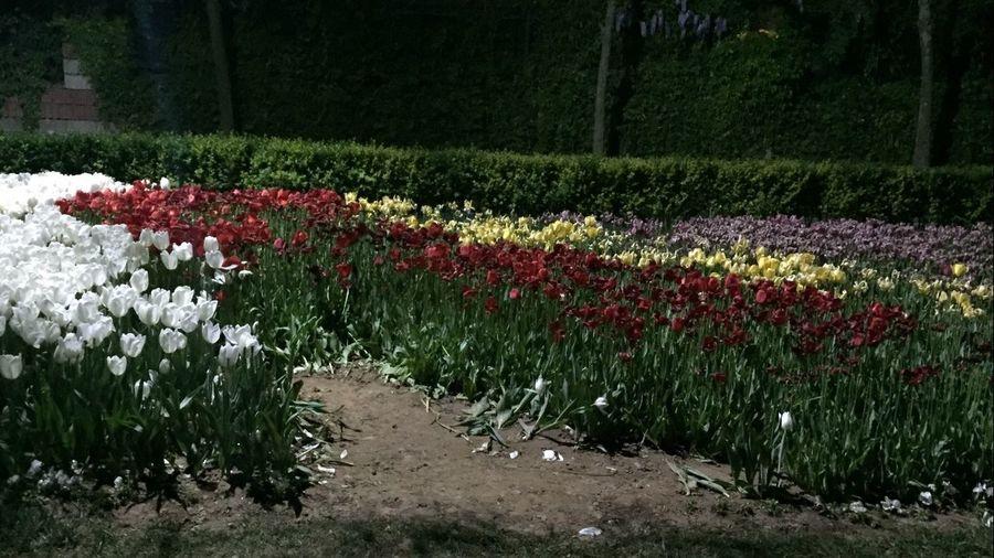 Renkli Laleler Cekmekoy 🙌 Colorfull Flower Tulips🌷 in Cekmekoy 🙌 Iphonephotography