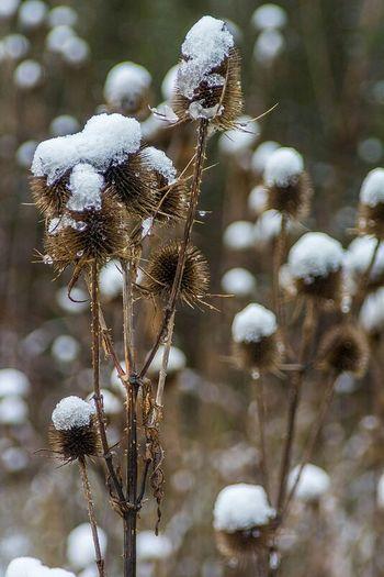 Snow Thistles