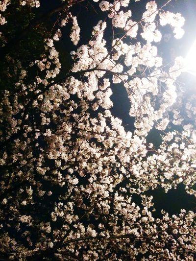 夜桜っぽいね