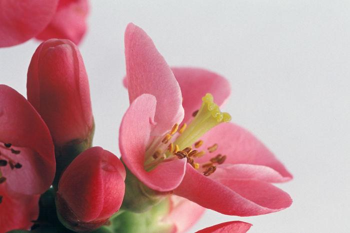 Japanese Peach Chaenomeles Japonica Cotogno Giapponese Flower Flower Quince Pesco Giapponese Petal Plant