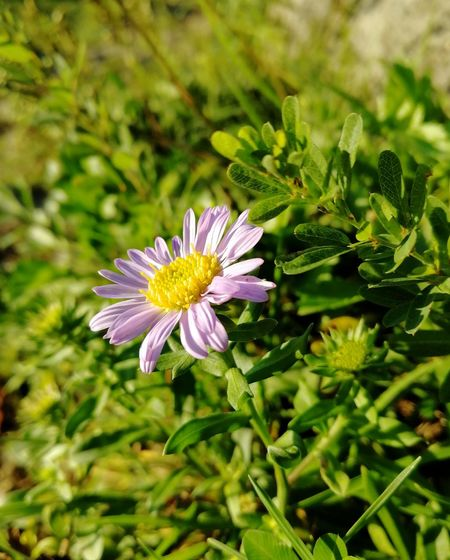 Wild aster flower in the sunset light Nature Summer Aster Amellus Aster Sunset Colors Evening Light Flower Head Flower Petal Purple Close-up Plant Green Color Daisy In Bloom Botany Plant Life Wildflower
