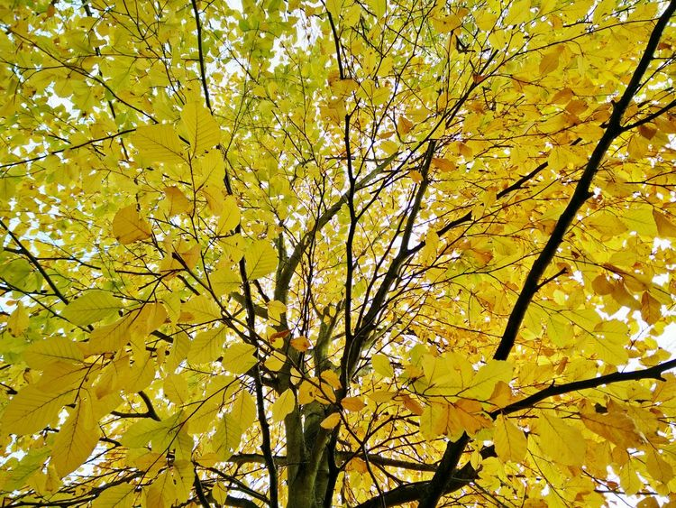Herbstblätter Herbstlaub Gelb Yellow Autumn Colours Autumn Leaves