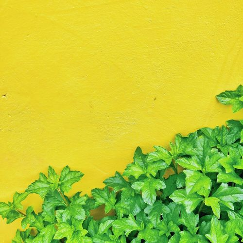 Yellow Backgrounds Full Frame Leaf Outdoors Green Color Love Photography Never Settle Freshness Close-up Beauty In Nature Wallpaper Colours Of Life