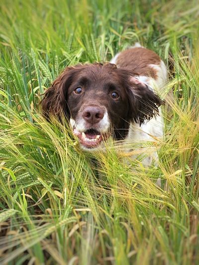 Rory Dog Portraits Springer Spaniels One Animal Animal Themes Dog Canine Animal Pets Domestic Animals