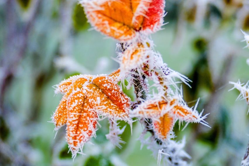 Autumn Autumn Colors Frost Ice Icecrystals Roses Winter Freezing Nature Close-up Flower Beauty In Nature Plant Orange Color Outdoors Nature Photography Photography Photooftheday White Frost