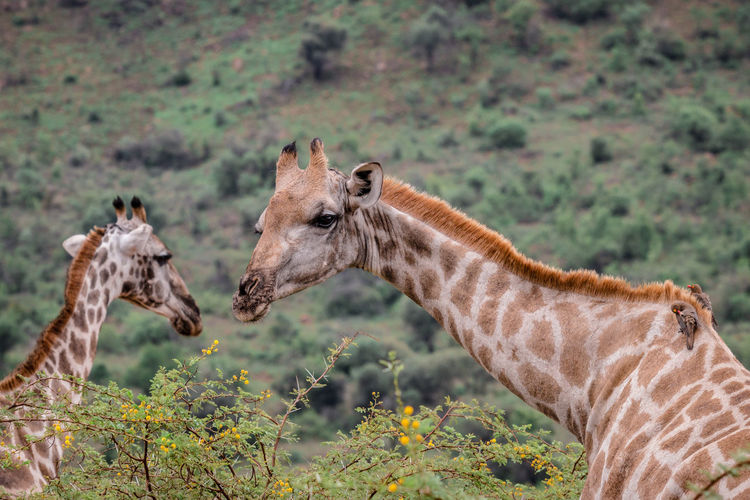 Close up of two giraffe grazing on bushes EyeEm Best Shots Grazing South Africa Wildlife & Nature Wildlife Photography Animal Animal Body Part Animal Head  Animal Neck Animal Themes Animal Wildlife Animals In The Wild Focus On Foreground Giraffe Herbivorous Mammal Nature Outdoors Plant Safari Two Animals Wildlife