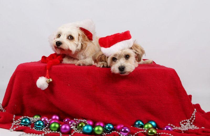 Puppies wearing santa hats during christmas