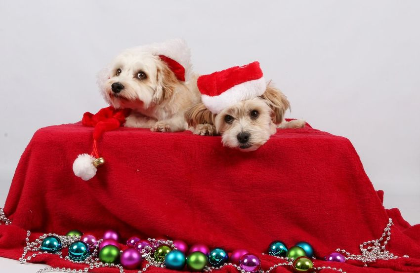two cute dogs lying in the studio with christmas decoration Christmas Balls Animal Animal Themes Christmas Christmas Decoration Christmas Hat Colorful Cute Day Dog Domestic Animals Havanese Havaneser Indoors  Lametta Lying Down Maltese Malteser Mammal No People Pair Pets Puppy Red Sitting