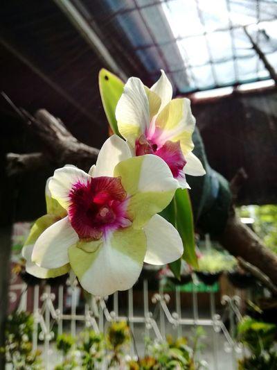 Orchids beauty. Flower P9LitePhilippines