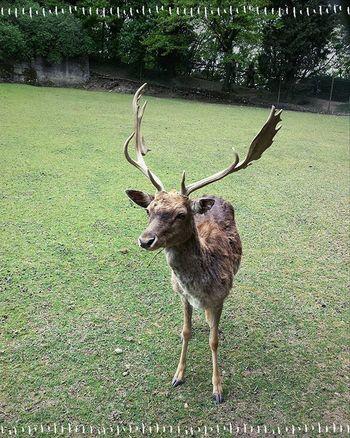 Another Dama Dama friend Fallowdeer Deer Damadama Antlers Animal
