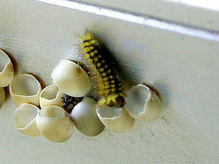 Macro Beauty Extreme Close Up Life Capturing The Moment Linda Vista De San Vito De Costa Rica Caterpillars Hatching Tiny Eggs Tiny First Out