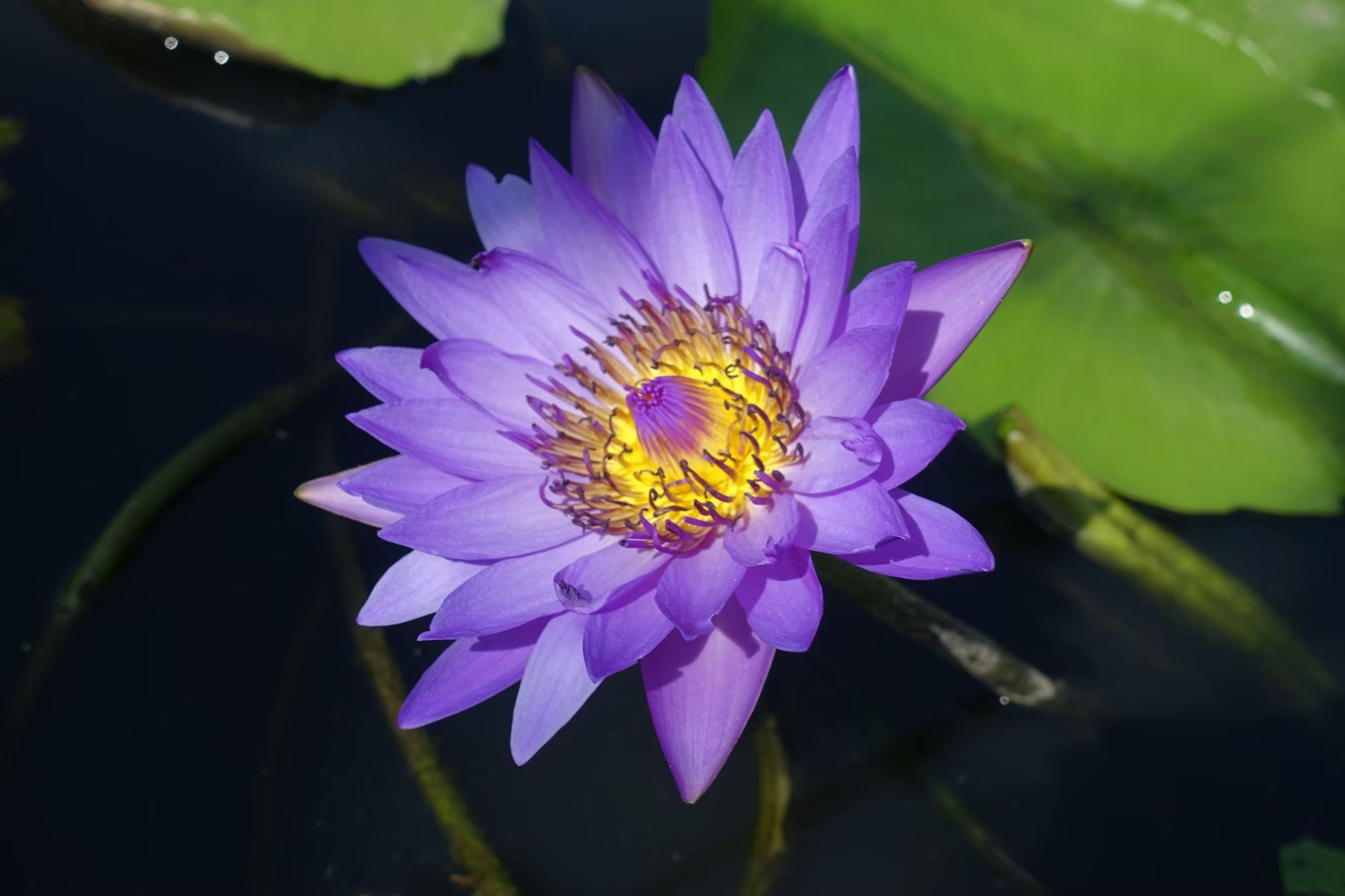 flower, flowering plant, plant, petal, fragility, vulnerability, flower head, freshness, inflorescence, beauty in nature, growth, close-up, pollen, water lily, nature, purple, leaf, plant part, no people, pollination, lotus water lily, floating on water