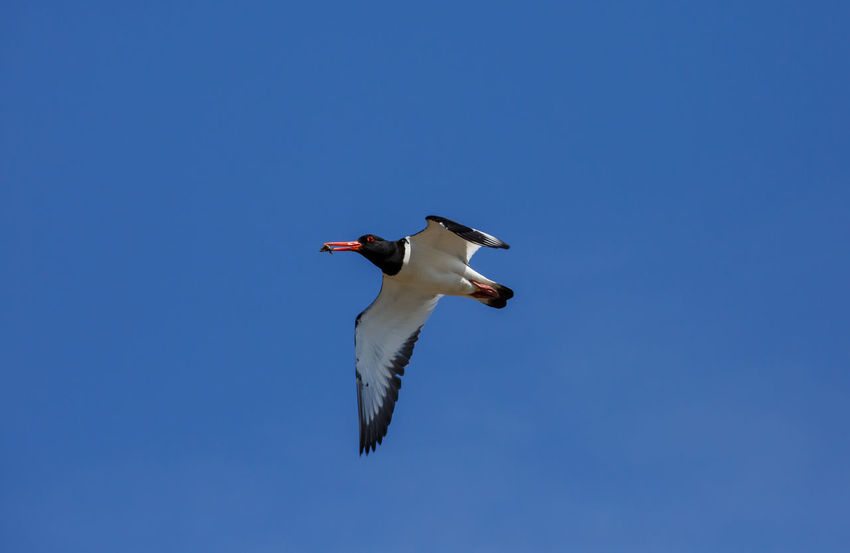 The Eurasian oystercatcher also known as the common pied oystercatcher, or palaearctic oystercatcher, or just oystercatcher, is a wader in the oystercatcher bird family Haematopodidae. Common Pied Oystercatcher Haematopus Ostralegus Animal Animal Themes Animal Wildlife Animals In The Wild Bird Blue Clear Sky Day Eurasian Flying Low Angle View Mid-air Motion Nature No People One Animal Oystercatcher Palaearctic Oystercatcher Sky Spread Wings Vertebrate Wader Wading Bird