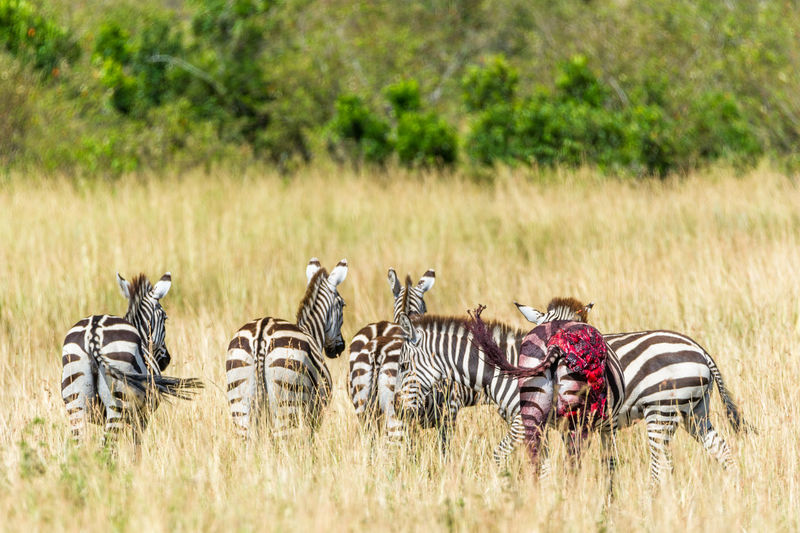 Rear view of zebras on grass