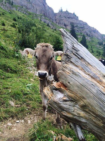 Close-up portrait of cow