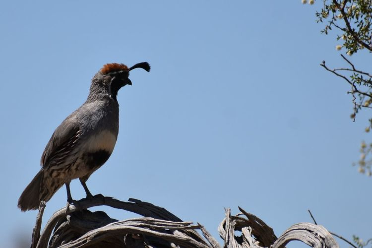 Animals In The Wild Branch Gambel's Quail Low Angle View No People One Animal Outdoors Perching Q Quail On B