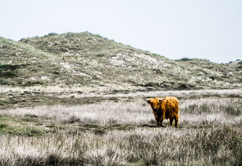 Highland cattle American Bison Animal Themes Animal Wildlife Animals In The Wild Cow Day Domestic Animals Field Grass Grazing Highland Cattle Landscape Mammal Mountain Nature No People One Animal Outdoors