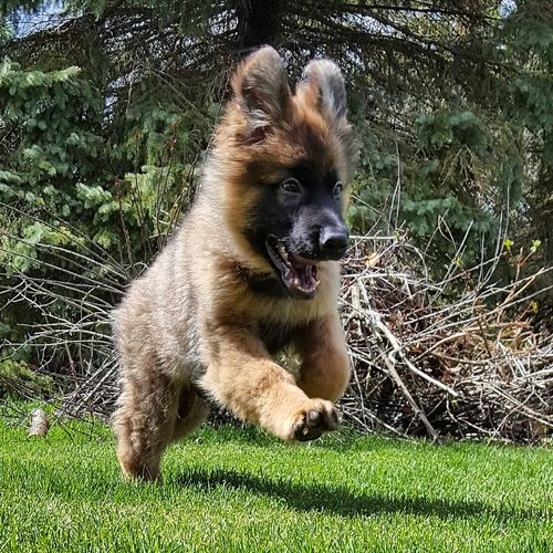 """Gravy"" Cute Puppy Dog Love Dog Portrait Action Shot  German Shepherd GSD Gsdpuppy Playing Running Backyard Adorable Dog"