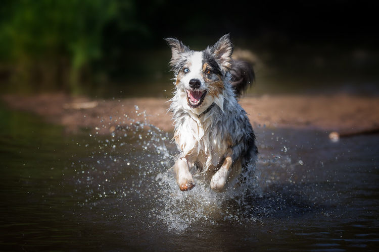Animal Themes Border Collie Day Dog Domestic Animals Full Length Mammal Motion Nature No People One Animal Outdoors Pets Running Splashing Water Wet