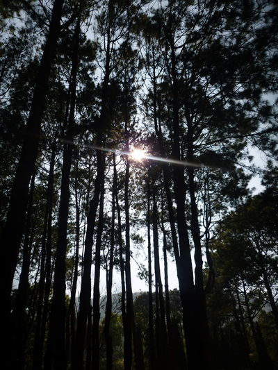 Tree Tree Area Forest Tree Trunk Sunlight Pinaceae WoodLand Sun Awe Sunbeam Needle - Plant Part Evergreen Tree Forest Fire